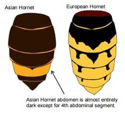 Asian & European hornets compared