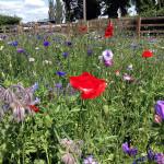 Wildflowers in pollination garden